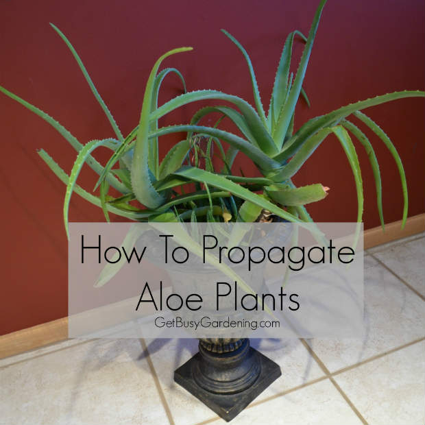 how to propagate aloe plants the prepared page. Black Bedroom Furniture Sets. Home Design Ideas