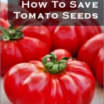 How To Save Tomato Seeds {Plus Tips}