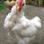 What to do When Your Chicken is Molting