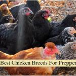 8 Best Chicken Breeds For Preppers