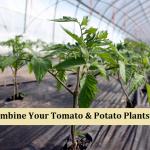 Combining Your Tomato & Potato Plants