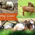 Self-sufficient Goat Keeping