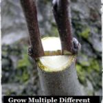 Grow Multiple Different Fruits On A Single Tree