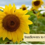 Sunflowers to the Rescue!