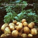 growing-potatoes-267x300