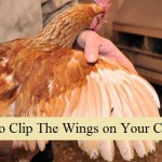 How To Clip The Wings on Your Chickens