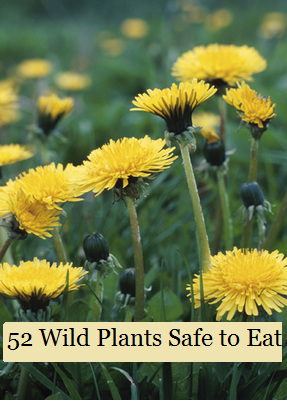 52 Wild Plants Safe To Eat The Prepared Page