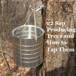 22 Sap Producing Trees and How to Tap Them