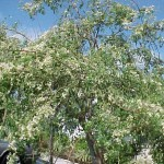 Moringa the Survival Tree