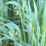 Oat Straw as a Herbal Remedy