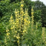 Herbal Treatments – Mullein Information & Recipes