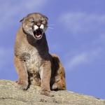 Surviving a Cougar Encounter