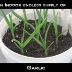 An Indoor Endless  Supply of Garlic