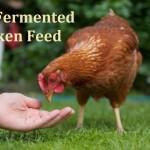 DIY Fermented Chicken Feed