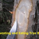 Harvesting & Eating Tree Bark