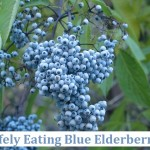 Safely Eating Blue Elderberries