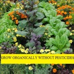 Grow Organically Without Pesticides