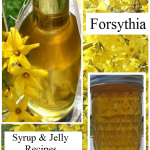 Forsythia Syrup & Jelly Recipes