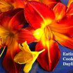 Eating & Cooking Daylilies