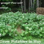 Grow Potatoes in Hay
