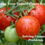Keeping Your Tomato Plants Healthy