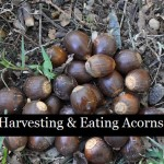 Harvesting & Eating Acorns