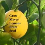 Grow Meyer Lemons from Seed