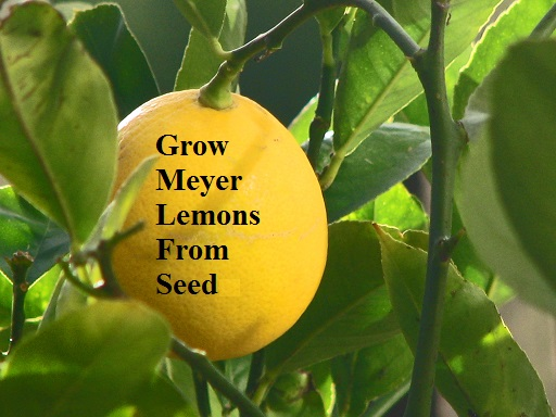 Grow meyer lemons from seed the prepared page for How do you plant lemon seeds