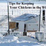 Tips for Keeping Your Chickens in the Winter