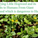Identifying Little Hogweed & its Benefits From Giant Hogweed & its Dangers