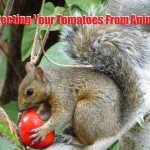 Protecting Your Tomatoes From Animals