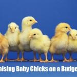 Raising Baby Chicks on a Budget