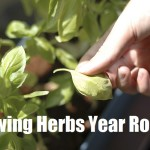Growing Herbs Year Round