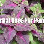 Herbal Uses For Perilla