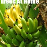 Growing Banana Trees At Home