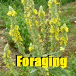 Foraging Mullein