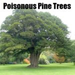 Poisonous Pine Trees