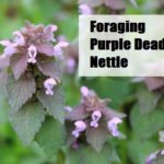 Foraging Purple Dead Nettle