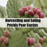 Harvesting and Eating Prickly Pear Cactus