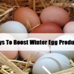 6 Ways To Boost Winter Egg Production