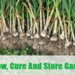 Grow, Cure And Store Garlic