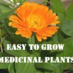 Easy to Grow Medicinal Plants