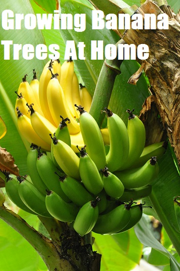 Growing Banana Trees At Home The Prepared Page